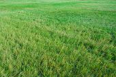 stock photo of nic  - Green grass of a meadow - JPG