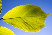 pic of linden-tree  - Linden Tree Leaves In Sunlight in summer  - JPG