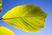 stock photo of linden-tree  - Linden Tree Leaves In Sunlight in summer  - JPG