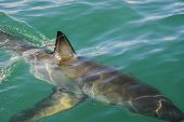 picture of great white shark  - The fin of a great white shark cuts through the water Gansbaai South Africa - JPG