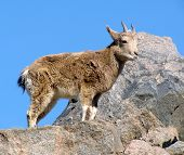 kid of wild goat