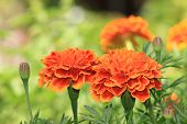 pic of chrysanthemum  - Chrysanthemum flowers - JPG