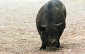foto of pot bellied pig  - A large black pig parade in the paddock - JPG