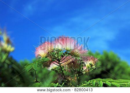 Mimosa Albizia Julibrissin