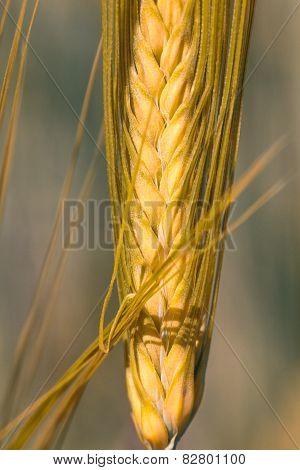 Ripe wheat ear