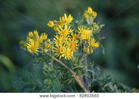 Ragwort Blossoms