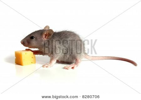Small Mouse And Cheese