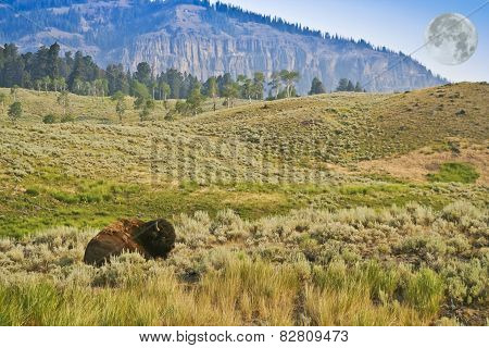 A Resting Bison And A Full Moon