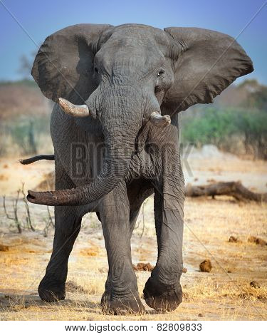 Wild Elephant In Charge