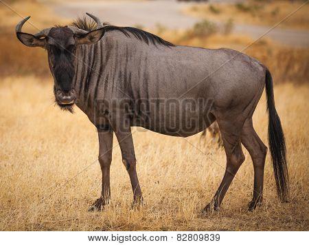 Wildebeest Close Up