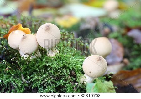 Pear-shaped Puffballs