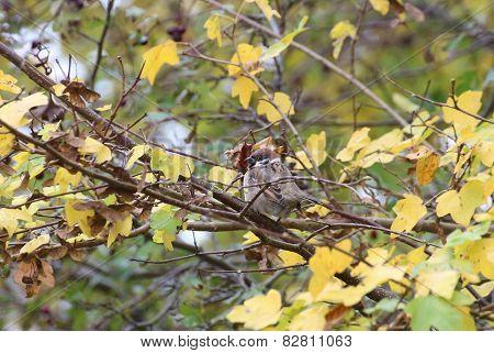 House Sparrow On Tree