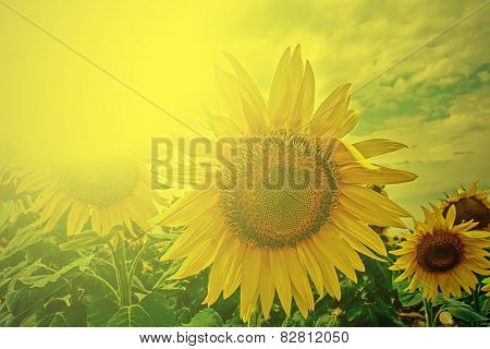 Field With Sunflower In The Morning Light