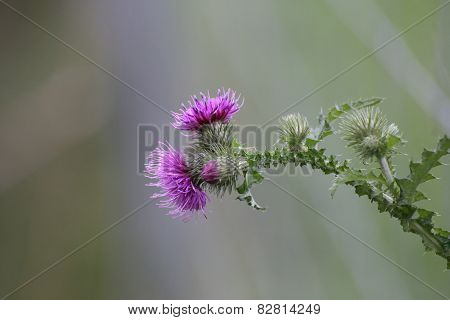 Thistle Blossoms