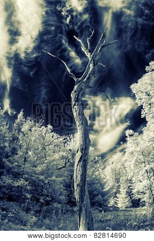 Lone Dead Tree - Infrared