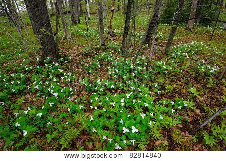 White Trilliums In A Forest