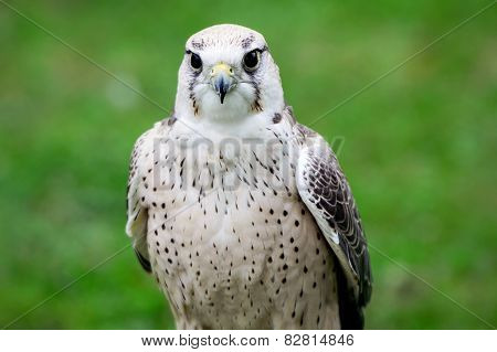 Lanner Falcon Close Up