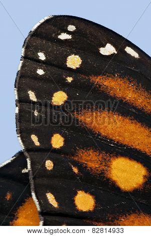 Monarch Butterfly Wing Macro