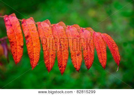 Close Up Of Orange Sumac Leaves