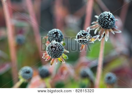 Frozen Wilted Black Eyed Susan