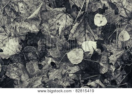 Decomposing Fall Leaves - Black And White
