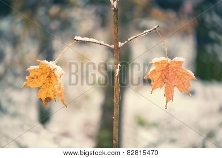Two Snowy Maple Leaves On Twigs In Balance - Retro