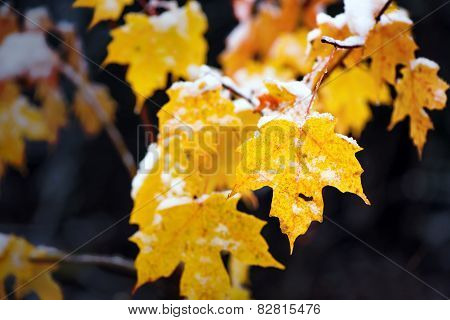 Snow On Yellow Maple Leaves