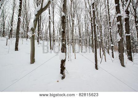 Snowy Deciduous Forest Landscape