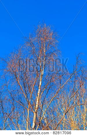 Sunlit Birch tree