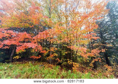 Vibrant Maple Tree Leaves On A Misty Morning