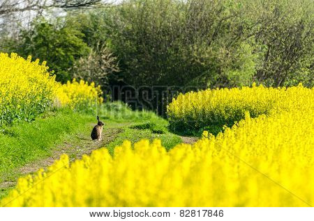 Hare And Rapeseed