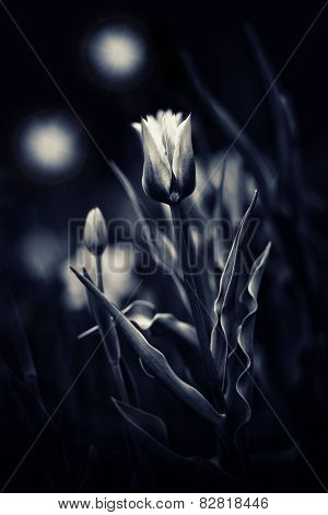 Tulips In A Magic Night Garden - Toned