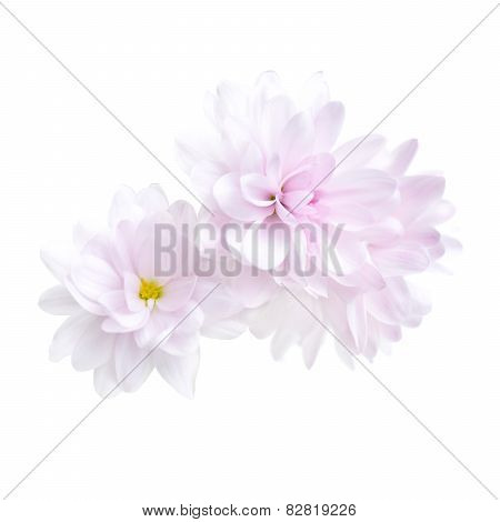 Purple chrysanthemum flower isolated on white background