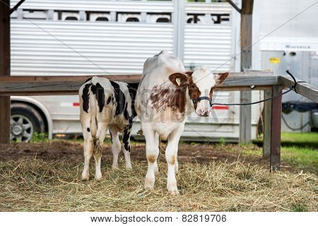 Two Young Cows On A Farm