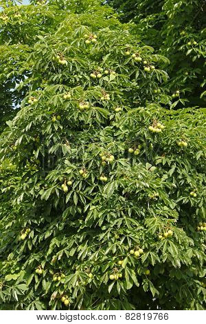 Chestnut Tree In Summertime