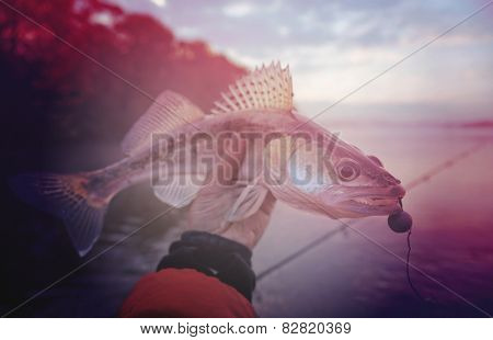 Walleye caught on handmade jig lure in misty autumn morning, toned image
