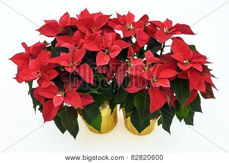 Two Potted Poinsettia Plants On White