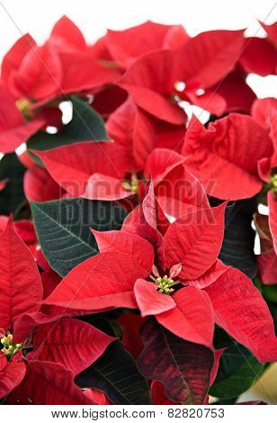 Poinsettia On White