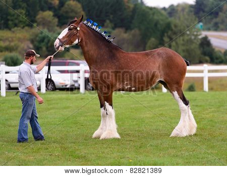 A Man Gets His Horse Ready For Competition