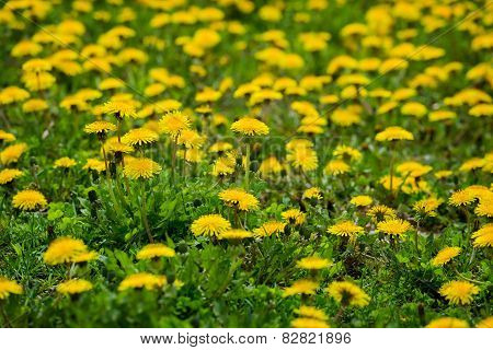 Close Up Of Dandelions With Shallow Depth Of Field