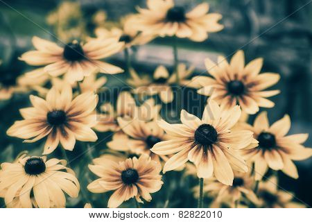 Black Eyed Susans - Retro