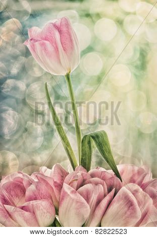 A Pink And White Tulip Rising Above Others