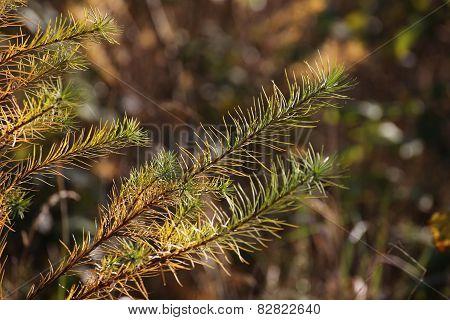 Spruce Detail