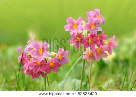 Pink Cowslips In The Garden