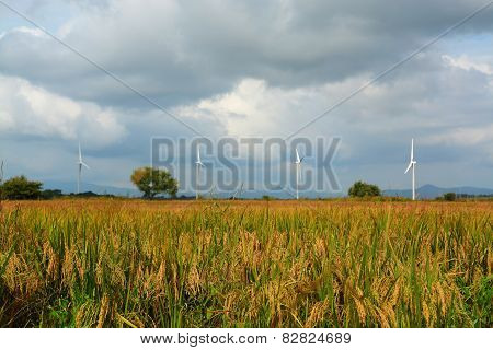 Rice Fields And Wind Turbines