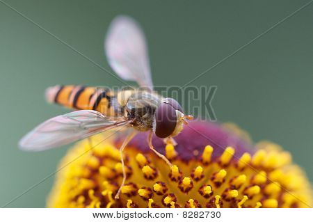 Hover fly on flower