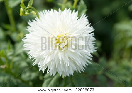White Dahlia Flower On Green Background