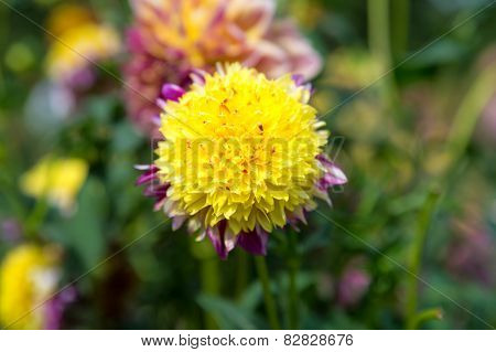 Beautidul Yellow Dahlia