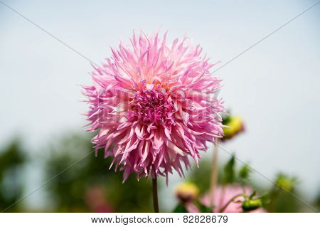 Beautifull Pink Dahlia