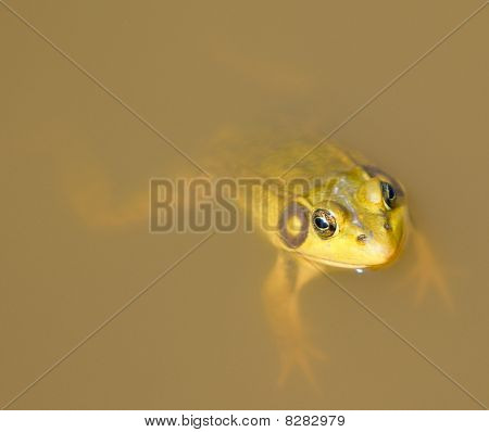 Frog In Muddy Pond